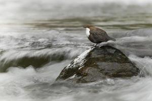concha de garganta branca, pássaro no meio do rio
