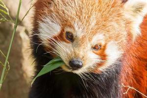 o panda vermelho, firefox