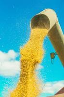 grãos de trigo saindo do tubo