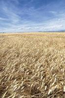 panorama vertical de campos de trigo amarelos