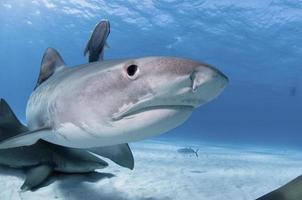 surpresa de tubarão