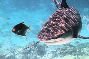 tubarão e peixes de recife