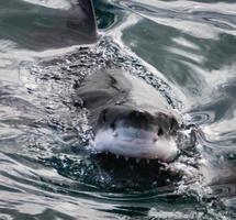 grande tubarão branco sorrindo