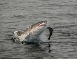 grande tubarão branco rompendo