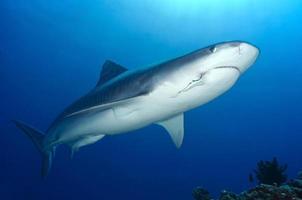 tubarão tigre / galeocerdo cuvieri