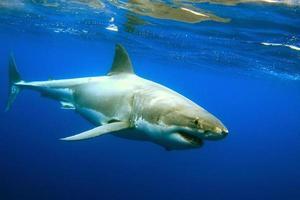 grande tubarão branco