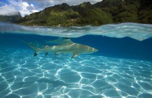 tubarão de ponta-preta / carcharhinus melanoptã © rus