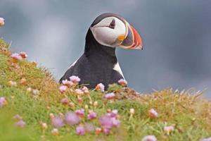 um papagaio-do-mar atlântico olha para cima de um penhasco foto