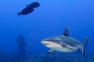 mandíbulas de tubarão cinza prontas para atacar retrato de perto