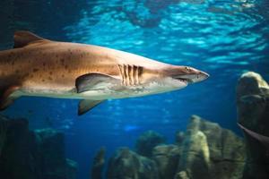 tubarão tigre no aquário