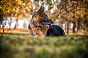 cão pastor alemão policial alsaciano foto