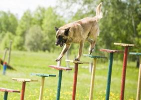 treinamento de cão pastor belga foto