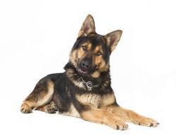 cão pastor isolado foto