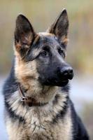 retrato de cão pastor alemão