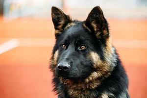 cão pastor alemão de perto