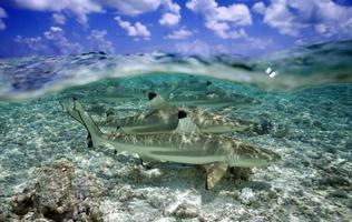 tubarão de ponta negra