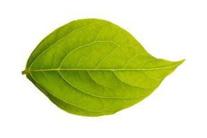 folha verde em fundo branco foto