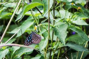 borboleta tropical azul e preta sentada em uma flor foto