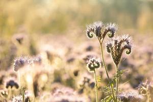 ervas floridas