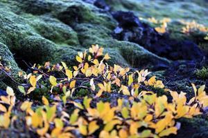 musgo Islândia foto