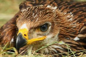 tiro na cabeça da jovem águia imperial foto