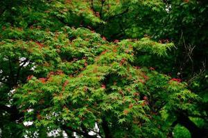 asas vermelhas tremulando na árvore foto