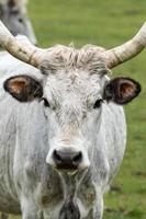lindo touro cinza húngaro foto