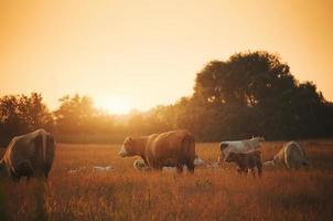 vacas no pasto