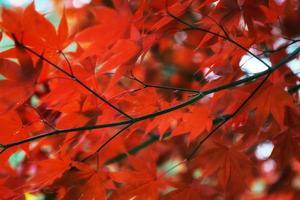 folhagem de bordo outono outono