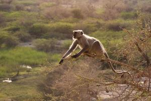 macaco indiano de cara preta foto