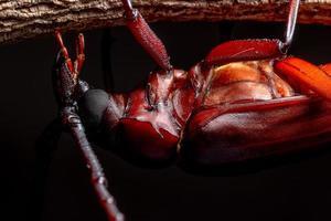 crisomeloidea em uma árvore sobre fundo preto foto