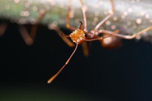 formiga vermelha em uma folha, macro foto