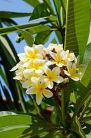 flores de plumeria foto