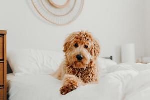 cachorro marrom deitado na cama
