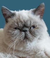 gato de pelo curto exótico em um fundo azul escuro foto