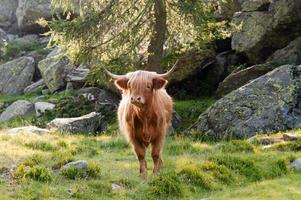 gado das terras altas foto
