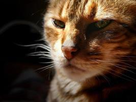 gato bengala: cabeça mal-humorada de gato bengala