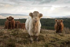 vacas peludas das montanhas foto