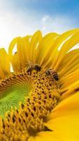 abelhas em um girassol