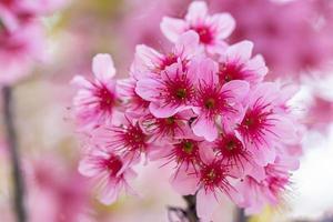 flores de prunus cerasoides na árvore foto