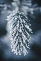 close-up de folhas de pinheiro congeladas foto