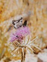 borboleta branca e preta em flor roxa