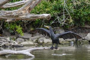corvo marinho preto secando suas asas