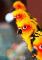 papagaios conure sol no zoológico