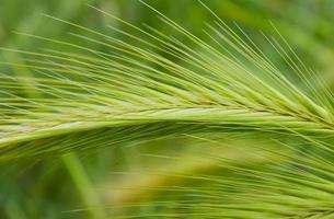 planta folheada verde foto