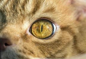 a macro de olho de gato amarelo