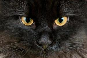 olhos amarelos de gato preto close-up foto