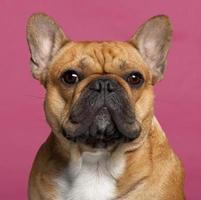 close-up de bulldog francês, um ano de idade, fundo rosa.