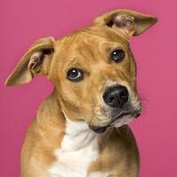 close-up de um American Staffordshire Terrier (5 meses de idade)