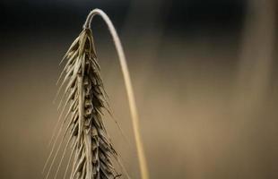 colheita natural de trigo